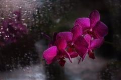 Ramo de uma orquídea escura da flor do bardo em um fundo do vidro escuro com gotas Foto de Stock Royalty Free
