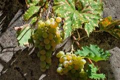 Ramo de uma uva em uma parede cinzenta Foto de Stock
