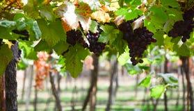 Ramo de uvas do vinho tinto Fotografia de Stock Royalty Free