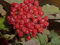 Ramo de viburnum Imagen de archivo libre de regalías