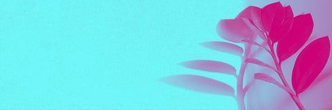 Ramo de zamiokulkas da planta tropical com as folhas pequenas com sombra do lond com luz de néon na parte direita da bandeira hor fotografia de stock