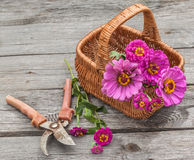 Ramo de zinnias rosados en una cesta Imagenes de archivo