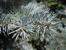 Ramo degli aghi del pino Fotografia Stock Libera da Diritti