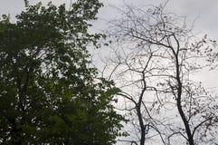 Ramo degli alberi con le foglie e senza sui precedenti con il cielo grigio-blu Opposti di contrasto di estate fotografia stock