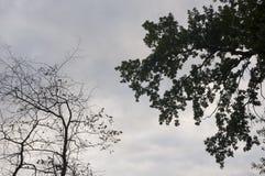 Ramo degli alberi con le foglie e senza sui precedenti con il cielo grigio-blu Opposti di contrasto di estate immagine stock