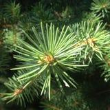 Ramo degli alberi verdi Fotografia Stock