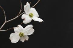 Ramo dei fiori bianchi del corniolo Immagini Stock