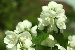 Ramo dei fiori del gelsomino, macrofotografia fotografia stock