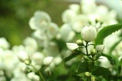 Ramo dei fiori del gelsomino, macrofotografia immagine stock
