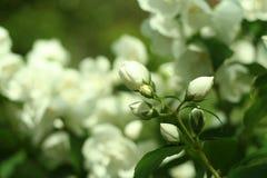 Ramo dei fiori del gelsomino, macrofotografia Fotografia Stock Libera da Diritti