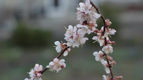 Ramo dei fiori dell'albicocca nel giardino, nelle gocce dopo pioggia stock footage