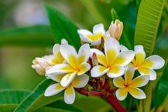 Ramo dei fiori di plumeria Fotografia Stock