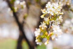 Ramo dei flovers della ciliegia Immagine Stock
