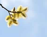 Ramo dei gattini del salice della primavera in fiore Fotografie Stock Libere da Diritti