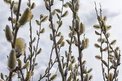 Ramo dei gattini del salice della primavera in fiore Immagini Stock