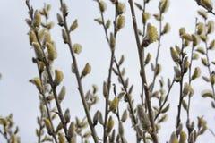 Ramo dei gattini del salice della primavera in fiore Fotografia Stock