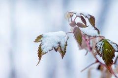 Ramo dei lamponi con le foglie asciutte, coperto di neve Inverno fotografia stock