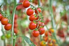 Ramo dei pomodori ciliegia freschi che appendono sugli alberi in azienda agricola organica Fotografia Stock