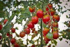 Ramo dei pomodori ciliegia freschi che appendono sugli alberi in azienda agricola organica Immagini Stock