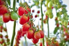 Ramo dei pomodori ciliegia gialli freschi che appendono sugli alberi nell'organo Immagine Stock
