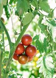 Ramo dei pomodori freschi del cioccolato che maturano ingreenhouse Fotografia Stock
