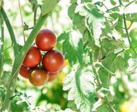 Ramo dei pomodori freschi del cioccolato che maturano ingreenhouse Fotografie Stock