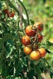 Ramo dei pomodori freschi del cioccolato che maturano nel campo Fotografie Stock
