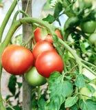 Ramo dei pomodori rosa freschi che maturano Fotografie Stock Libere da Diritti