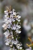 Ramo dei rosmarini fioriti, rosmarinus officinalis immagine stock libera da diritti