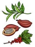 Ramo del caffè, fave di cacao, foglie di tè illustrazione vettoriale