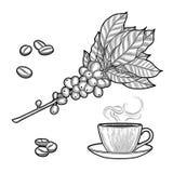 Ramo del caffè Pianta con le foglie, bacche Bevanda naturale della caffeina Bastoni di cannella, anice illustrazione vettoriale