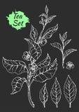 Ramo del cespuglio del tè con le foglie ed i fiori Disegno botanico Schizzo, insieme realistico Vettore Fotografia Stock