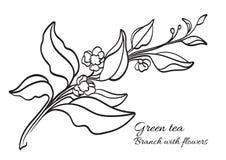 Ramo del cespuglio del tè con le foglie ed i fiori realistico Prodotto organico Vettore Fotografie Stock Libere da Diritti