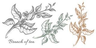 Ramo del cespuglio del tè nave Prodotto organico Vettore Immagine Stock Libera da Diritti