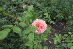 Ramo del cespuglio di rose con il fiore rosa immagine stock libera da diritti