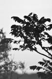 Ramo del ciliegio Immagini Stock Libere da Diritti