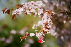 Ramo del ciliegio con il martisor, simbolo tradizionale del primo giorno di molla Immagine Stock Libera da Diritti