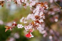 Ramo del ciliegio con il martisor, simbolo tradizionale del primo giorno di molla fotografia stock libera da diritti