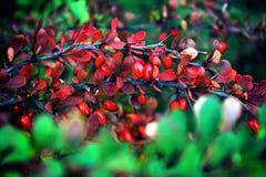 Ramo del crespino con le bacche rosse immagine stock libera da diritti