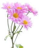 Ramo del crisantemo Foto de archivo