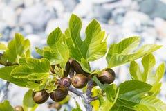 Ramo del fico con i frutti e le foglie non maturi Fotografia Stock Libera da Diritti