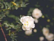 Ramo del fiore con i fiori del rovo, rosa canina immagine stock