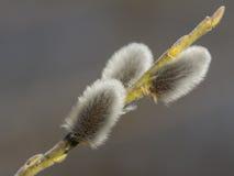 Ramo del fiore del salice purulento Fotografia Stock