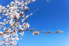 Ramo del fiore dell'albicocca contro cielo blu Fotografia Stock