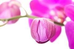 Ramo del fiore dell'orchidea Immagini Stock Libere da Diritti