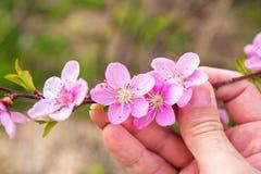 Ramo del fiore della pesca della tenuta della mano dell'agricoltore in frutteto Immagine Stock