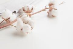 Ramo del fiore della pianta di cotone su fondo bianco Fotografie Stock