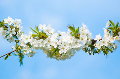 Ramo del fiore di ciliegia immagini stock libere da diritti