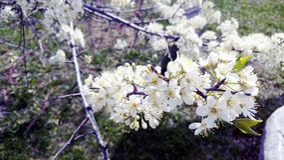 Ramo del fiore di ciliegia in primavera Fotografia Stock