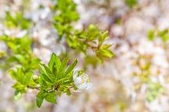Ramo del fiore di ciliegia su fondo vago Immagine Stock